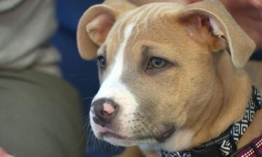 Rogue was a little puppy in Salem that was caught in the crossfire of a shooting and her foster owner says she wouldn't be alive if it wasn't for the police officers who saved her.