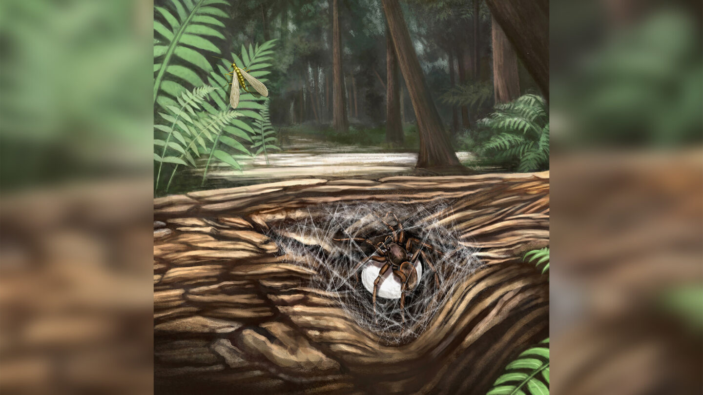 <i>Xiaoran Zuo</i><br/>This illustration shows a female lagonomegopid spider guarding her egg sac in a Cretaceous forest.