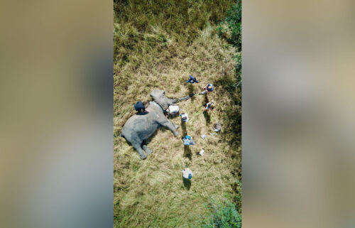 Researchers take genetic samples from a tusked female elephant in Gorongosa National Park