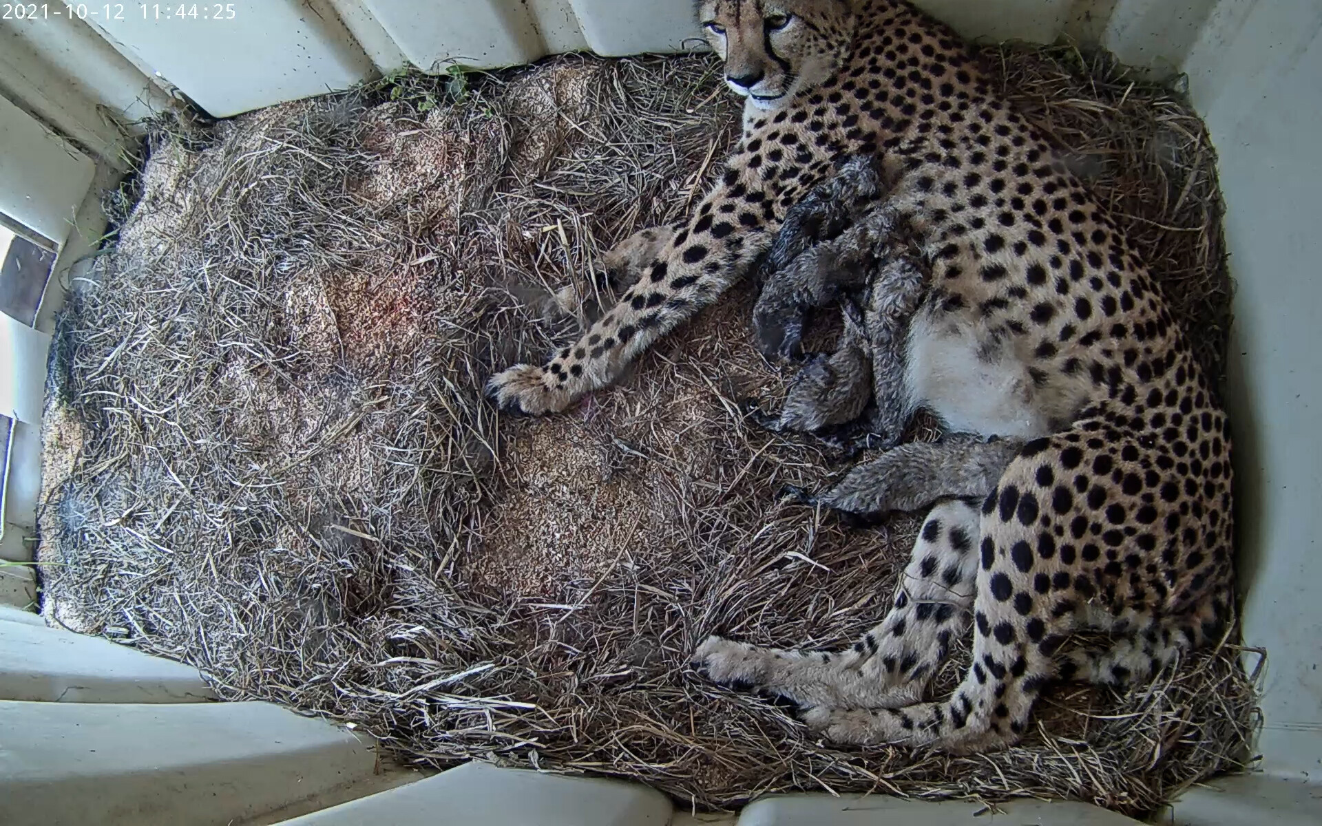 <i>Smithsonian Conservation Biology Institute</i><br/>Animal lovers can see the new cubs via a live webcam.